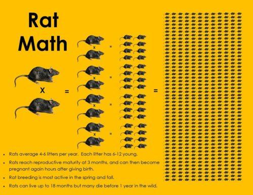 Rat reproduction graphic